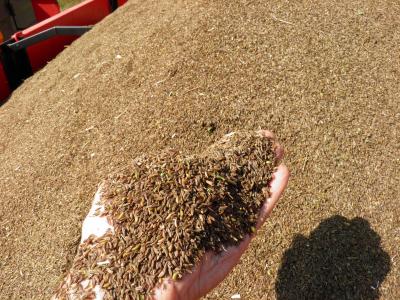Kumina - monipuolinen maustekasvi