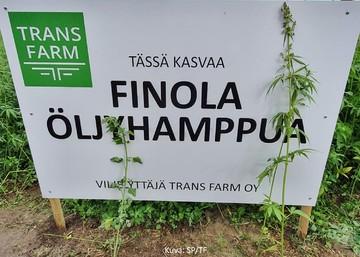 Öljyhamppu kiinnostaa - sopimustuotantoa käynnistellään Trans Farmilla