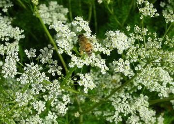 Kukkakärpäset ovat tärkeitä kuminan pölyttäjiä